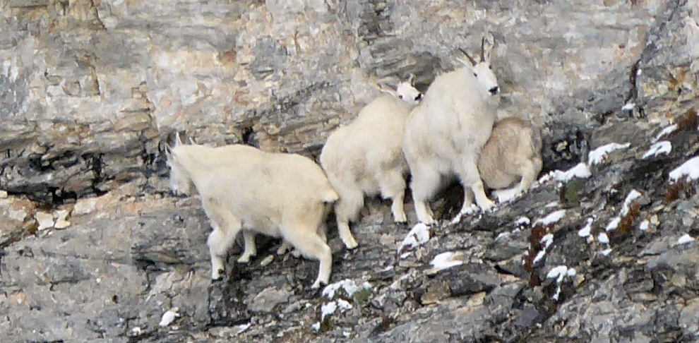 Mountain Goats and Sheep
